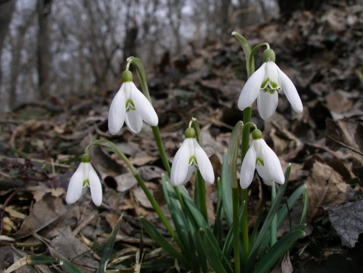 Hóvirágok (fotó: Halász Antal)
