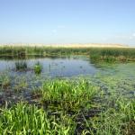 A homogén nádast megszakító nyílt vizes foltok a mocsarak diverzitását növelik.