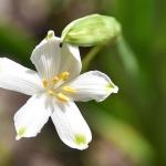 Védett nyári tőzike (Leucojum aestivum) (Fotó: Berkó Gyöngyi)