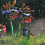 Kis puzzle, pirosló hunyor
