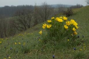 Tavaszi hérics (Fotó: Selmeczi Kovács Ádám)