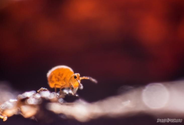 Az ugróvillások bájos tagja, egy villásgömböc (Fotó: Potyó Imre)
