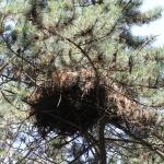 Darázsölyv fészke fekete fenyőn (Fotó: Klébert Antal)